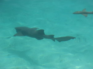 Sharks in Eleuthera